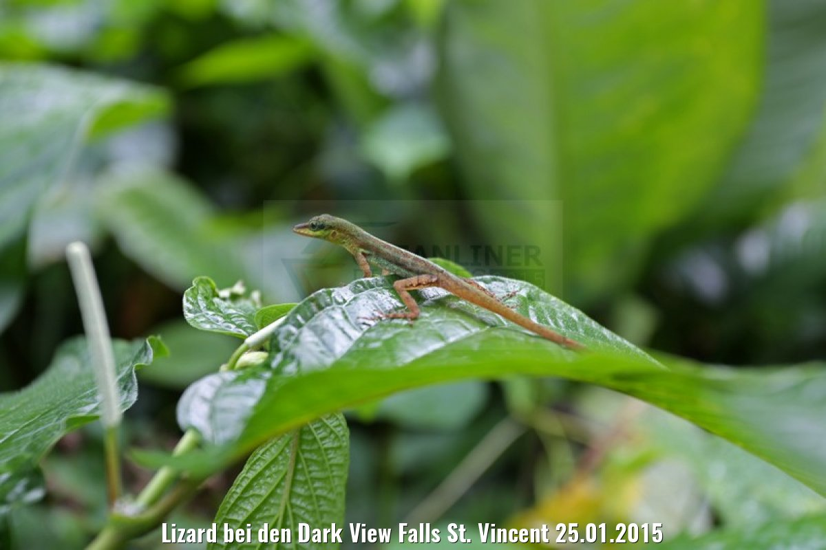 Lizard bei den Dark View Falls St. Vincent 25.01.2015