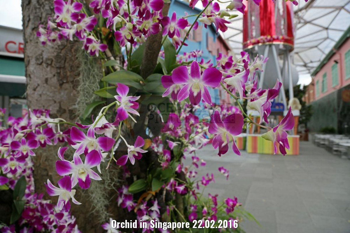 Orchid in Singapore 22.02.2016